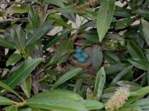 Robin Eggs 6